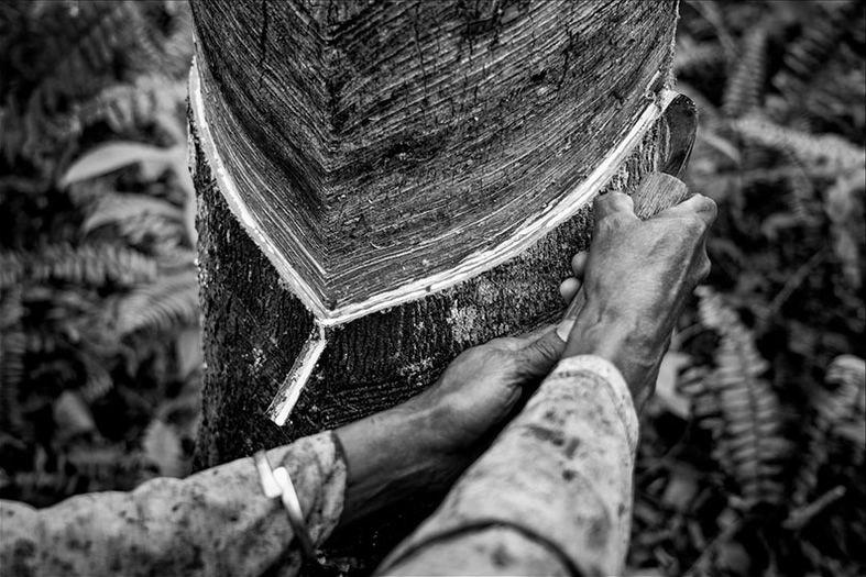 Pirelli photo series documents natural rubber cultivation
